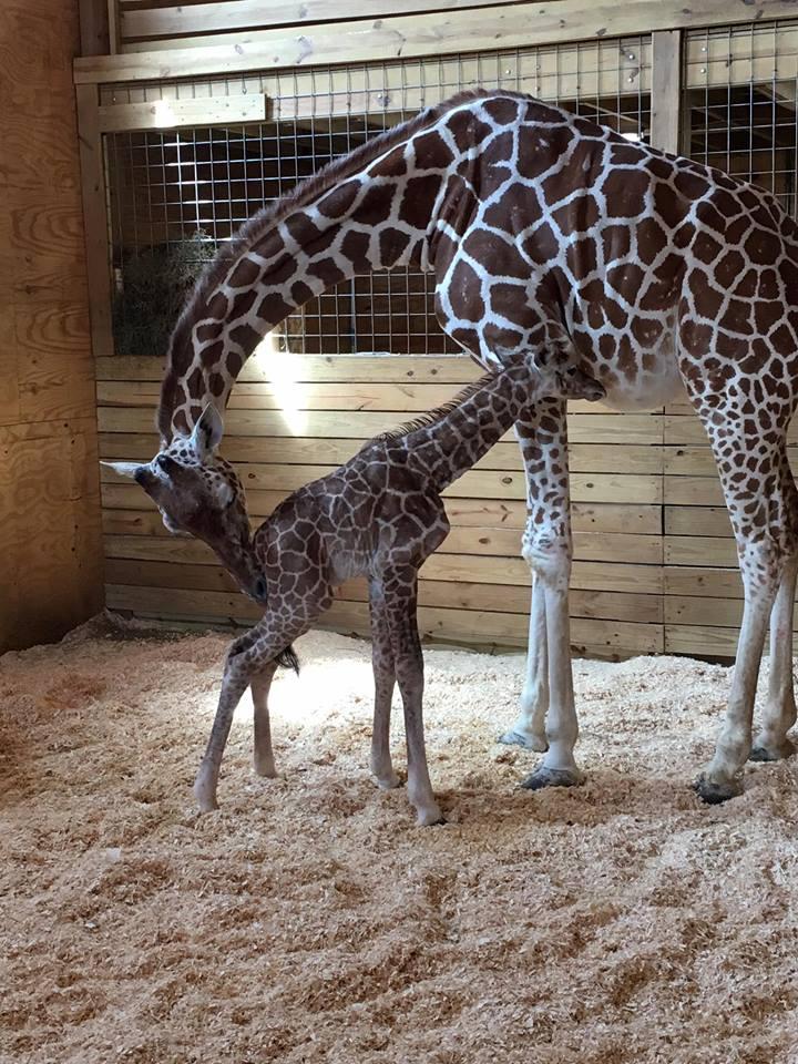 LIVE GIRAFFE CAM: APRIL THE GIRAFFE GIVES BIRTH
