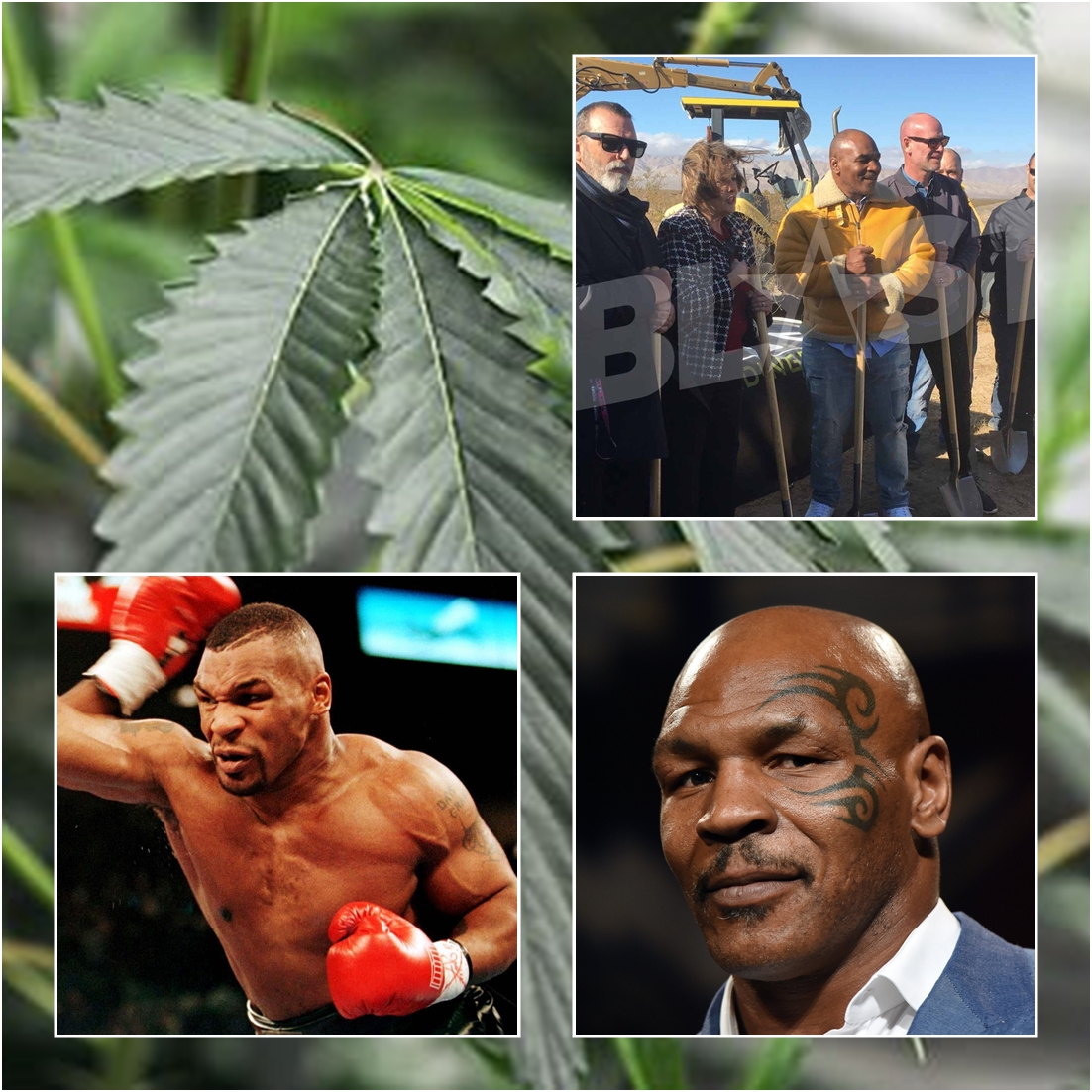 Heavy weight-weed champion of the world? Mike Tyson launches California cannabis farm