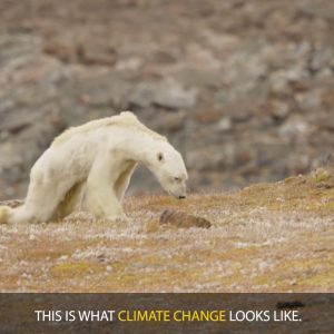 National Geographic LIED About Picture Of Polar Bear 'Starving' Due To Climate Change
